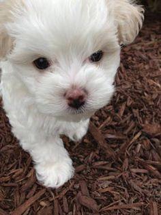 Maltese/Bichon Puppies Ready 4/30/13