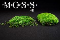 DIY GARDEN | MOSS :: EVERYTHING about moss--types, care, watering & MORE! :: ACROCARPOUS--mounded tufts/colony, upright growth habit w/ sporophytes emerging from plant's tips,  slower growing/fragment regeneration than Pleurocarps :: PLEUROCARPOUS--spreading carpets, short, lateral branching growth habit (not at tips), sporophytes emerge mid-stem, regenerates from broken fragments, attaches quickly to stone w/ fast growth rate, easier maintenance & can be used as a nursery for Acrocarps…