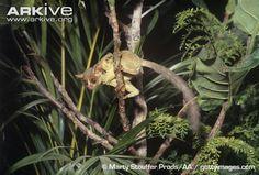 Galagoides demidovii (komba malá, Galagonidae)