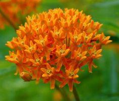 Atrae mariposas monarca al jardín: Hierba de las mariposas