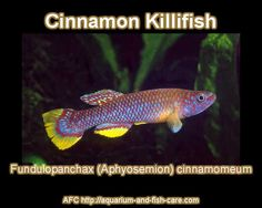 Cinnamon Killifish - Fundulopanchax (Aphyosemion) Cinnamomeum