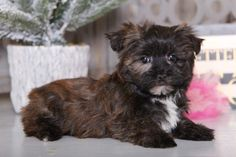 Shorkie Puppies for Sale Shih Tzu Poodle Mix, Shih Tzu Mix, Yorkie, Animals Dog, Cute Animals, Shorkie Puppies For Sale, Cute Dogs, Cute Babies, Lancaster Puppies