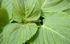 Koreanische Perilla (Saatgut) Die koreanische Perilla hat deutlich größere Blätter, die auf der Vorderseite grün, und unten mehr rötlich sind. Die jungen Blätter werden hauptsächlich gefüllt mit anderen Speisen gegessen. Natürlich wird auch diese Art Shiso für Sushi, Salate, Tempura, Suppen und vieles mehr verwendet. Das Aroma ist anders als bei den roten und grünen Sorten, und liegt mehr zwischen Minze und Basilikum 3,90Eruo / 100 Samen