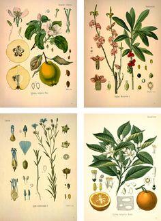 ChippaSunshine: Vintage Botanical Prints. How to print from the Missouri Botanical Garden Library