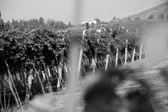 Spectacular Grapevine near #Verona
