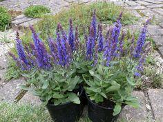 Salvia Nemorosa ' Sensation Deep Blue Impr.'