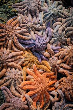 colorful starfish Piha, New Zealand by Zanthia Flicr