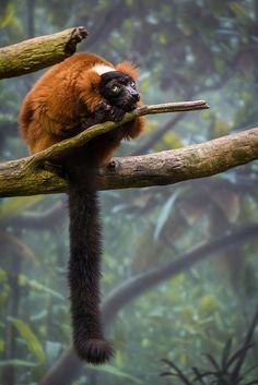 Red Ruffed Lemur - Varecia rubra