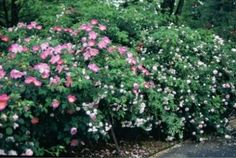 Do Own Root Roses Make Better Plants In Your Garden. What do you think? http://www.finegardening.com/item/21624/do-own-root-roses-make-better-plants-in-your-garden