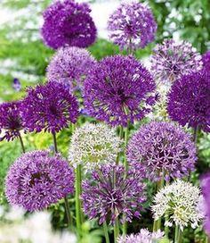 Allium-Mix 'Big Head'