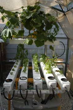 Hydroponic cucumbers and herbs growing in hobby greenhouse.
