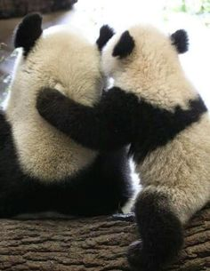 I just realized i pin alot of Pandas. and i aint stopping now! I'm pinning your pins of Pandas. Cute Bear, Cute Panda, Cute Baby Animals, Animals And Pets, Sweet Pictures, Photo Panda, Panda Mignon, Panda Hug, Panda Lindo