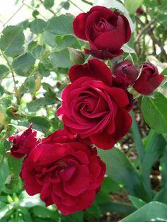 'Don Juan' climbing rose, very fragrant.