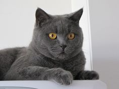 Learn all about the British Shorthair cat breed, including their personality, caring for your British Shorthair cat, and some interesting facts | British Shorthair Cat Breed Profile