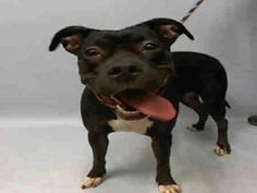 ★1/8/16 STILL THERE★SURPRISE A1061968 FEMALE, BLACK / WHITE, PIT BULL MIX, 1 yr, 6 mos STRAY – STRAY WAIT, NO HOLD Reason STRAY Intake condition EXAM REQ Intake Date 01/01/2016, From NY 11413, DueOut Date01/05/2016, Medical Behavior Evaluation GREEN