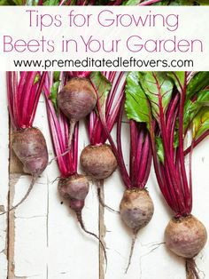 Tips for Growing Beets in Your Garden - Vegetable Gardening Tips for growing beets from seed, how to transplant and care for beet seedlings, when and how to harvest beets.