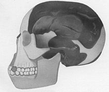 Piltdown Man 1953: Weiner, Le Gros Clark, and Oakley expose the hoax.