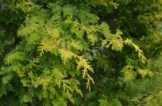 Hinoki Cypress in A Garden For All by Kathy Diemer http://agardenforall.com