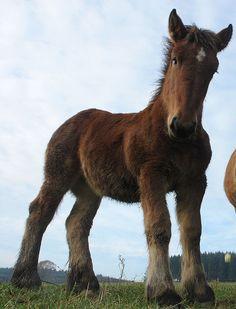 """Belgian foal """"Geert, Geert, Belgisch peert"""" by CharlesFred"""