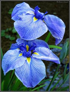 Pair Blue Japanese Irises in the Lower Pond of the Portland Japanese Garden.Blue Japanese Irises in the Lower Pond of the Portland Japanese Garden. Exotic Flowers, Amazing Flowers, Beautiful Flowers, Blue Iris Flowers, Japanese Iris, Japanese Flowers, Japanese Style, Portland Japanese Garden, Blue Garden