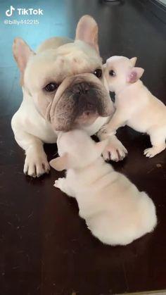 Cute Bulldog Puppies, Cute Baby Dogs, Kittens And Puppies, Cute Dogs And Puppies, Funny Dog Jokes, Cute Funny Dogs, Cute Funny Animals, Top Funny, Buldog