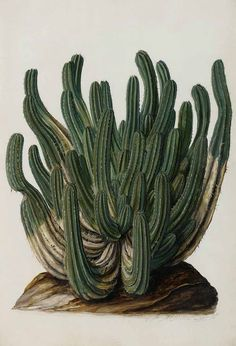 Jan Moninckx, Euphorbia from Moninckx Atlas, 1682-1709. Netherlands. Via plantgenera.