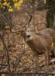 Whitetail Deer: How To Use Clues to Track the Rut --- Outdoor Life - top stories by Tom Carpente