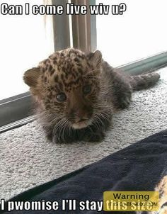 Will this make you laugh? baby leopard wants to come live with you