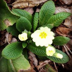 Prime primule di primavera