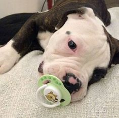 Pittie puppy with pacifier