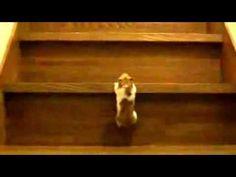 ハムスター 動画 おもしろ 「階段だって登れますw」