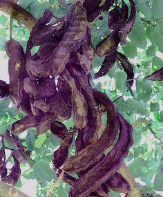 Le carrube son il frutto dell'omonimo albero sempre verde. Albero che cresce spontaneo nelle nostre terre. Direi che è tipico della Sicilia e pu