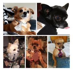 Some of the lovely chihuahuas send into the blog. Cute chihuahuas in ties.