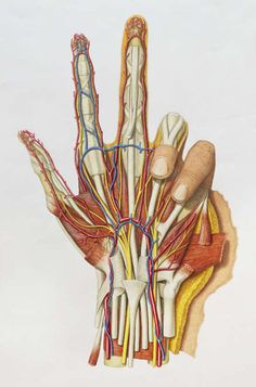 hand. Medical Art, Medical News, Medical Science, Anatomy Drawing, Human Anatomy, Amazing Body, Amazing Art, Skeleton Muscles, Medical Illustrations