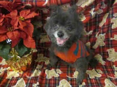 PELE is an adoptable Pomeranian Dog in Santa Clara, CA. Hi...hey...how ya doing? I'm a sweet active boy and my name is PELE! I'm excited to meet new people and I like to be the center of attention. Wi...