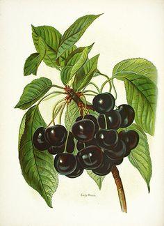Wright Fruit Growers Guide, Full Volume at Panteek black cherry