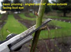 must know info on Basic Rose Pruning Cut