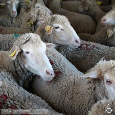 Ovejas de la raza merino de la ganaderia la Llave en Extremadura. Lamb, Goats, Animals, Cattle, Hens, Paintings, Animales, Animaux, Animal
