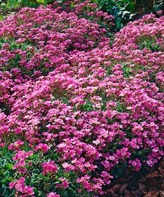 Huseník kavkazský. Arabis caucasica rosea. Tato trvalka vytváří bohatě kvetoucí polštáře! Nejlépe kvete na suchých a kamenitých místech, například na skalkách. Na okrajích zídek vytváří efektní kvetoucí převisy. Stanoviště: plné slunce, doba kvetení: duben - květen, výška: 15 - 20 cm, polštářovitý růst.