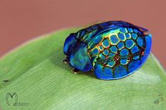 imperial tortoise beetle, Brazil (by Monteiro)