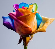 NederlandHappy Roses/Rainbow rose