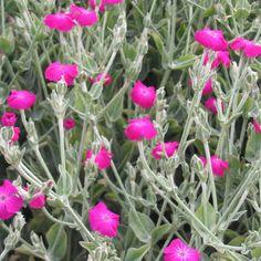 Silene coronaria Rose Campion 100 Seeds Hardy Perennial Pink Flowers UKFreeP/&P