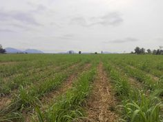 Sugar Cane Plantation For Sale - Hua Hin Real Estate - Thailand Real Estate  -- 29-2-24 Rai (47,296 M² or 4.7 Hectares) -- Chanote Title Deed -- 165 M Paved Road Frontage -- 25 Meters from Utilities -- 30 x 30 Meter Pond -- Currently Planted in Sugar Cane