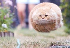 Domestic cats evolve the ability to hover to save them the bother of walking.