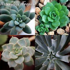 Las famosas plantas del género Echeveria no pueden faltar en nuestro xerojardín