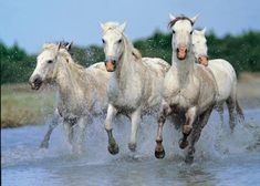 """Rode horses on the beach in Camargue, France. The Camargue (also name of the horse, nicknamed """"the horse of the sea"""") is one of the oldest breeds of horses in the world."""