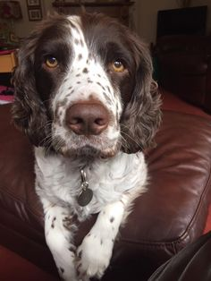 English Springer Spaniel - Yes Gertrude, It's really me.
