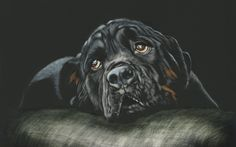 Black, Rottweiler, dog, muzzle, cushion wallpaper