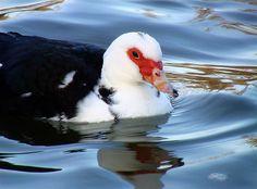 Peaceful Mrs Duck