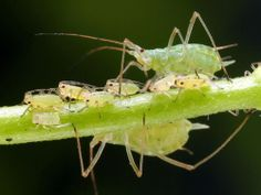 Baby vampire aphids drink parents' blood   Clones get a bad rap. In movie after movie, they are portrayed as somehow evil, from the clones o...